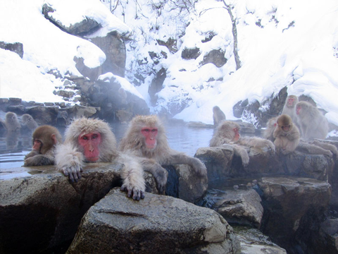 monkey hot springs