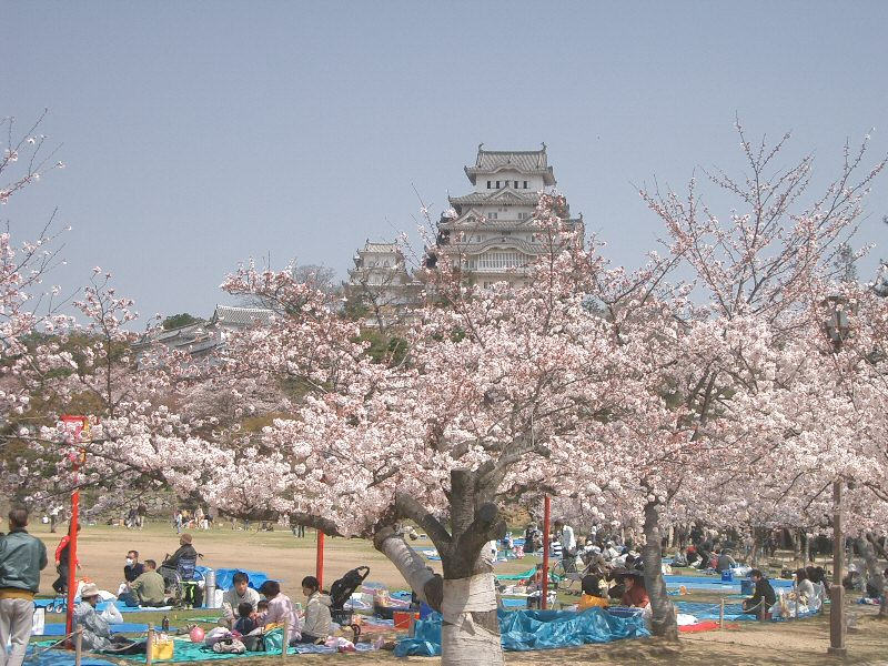 ohanami cherry blossom viewing